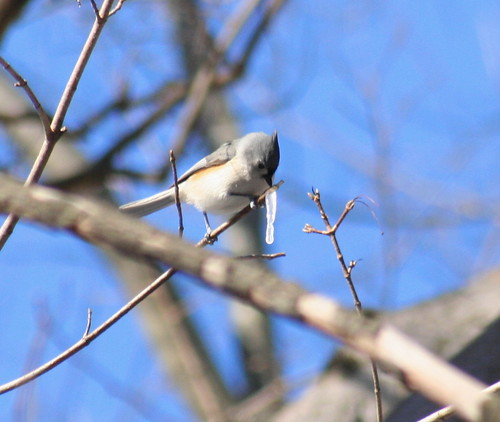 tufted titmouse and icicle
