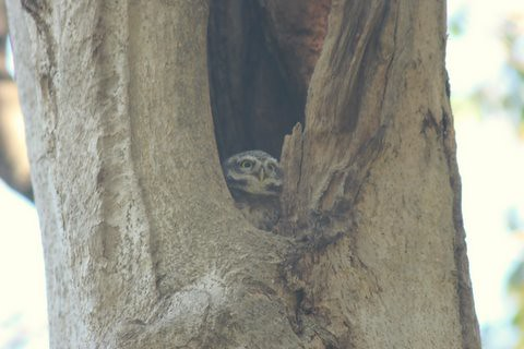 Spotted owlet Lalbagh 7 mar 07 four