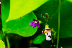 Day 155 - Bean Sprout (artkeh) Tags: flower bean blooming 2015 project365
