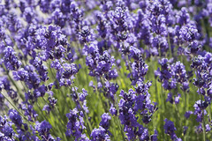 Purple Field (vladsmirnov1997) Tags: flowers wild sunlight flower green nature washington leaf spring purple bugs growing