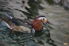4. Mandarin ducks / утки мандаринки