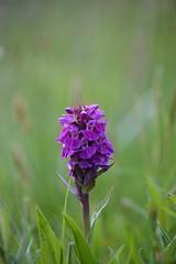 Purple Orchid (DSC_4706) (AngusInShetland) Tags: orchid scotland shetland purpleorchid