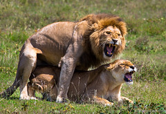 Frisky business (JD~PHOTOGRAPHY) Tags: animals canon tanzania african wildlife lion bigcat lions mating lioness carnivores predators bigfive matinglions africansafari africanwildlife serengetinationalpark africanlions fantasticnature canon6d serengetilions africasbigfive