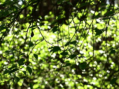 leafy curtain (vertblu) Tags: backlight forest spring foliage shrub springtime inthewoods birchleaves greenbeautyforlife