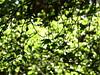 leafy curtain (vertblu) Tags: backlight forest spring foliage shrub springtime inthewoods birchleaves greenbeautyforlife