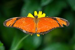 2015_07_16_13092 (Doug's Graphics) Tags: westminster colorado lepidoptera arthropoda dryas insecta nymphalidae dryasiulia juliabutterfly thebutterflypavilion