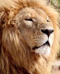 IMG_9973 (novasdtr) Tags: cats nature animal canon fur mammal outdoor wildlife ngc lion pride bigcat predator soe bigcats mane carnivore wildcats greatphotographers animalswithmanes