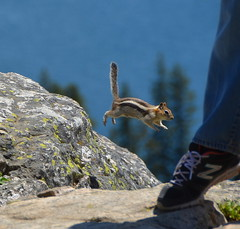 Chipmunk jump (afagen) Tags: animal nps hiking wildlife trail chipmunk wyoming nationalparkservice inspirationpoint grandteton jacksonhole grandtetonnationalpark