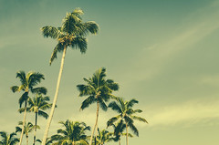 palmeras - hawaii 2014 (srvmusti) Tags: beach vintage hawaii us unitedstates palm retro palmtree hilo palmiye vsco vscofilm
