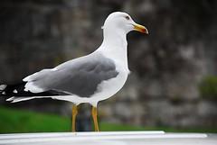On guard (petrk747) Tags: voyage cruise sea italy travelling bird birds fauna port coast seagull gull liguria savona