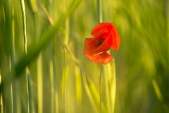 In The Jungle (parkerbernd) Tags: light nature field grass germany lumix fantastic corn bokeh rye panasonic explore jungle poppy blade mohnblume gx1
