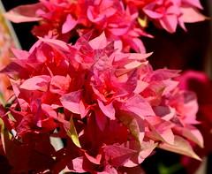 Pretty in Pink! Bougainvillea 'Poppy Party (aviac) Tags: california pink flowers party plant flower nursery vine bougainvillea poppy sanluisobispo bougie sanluisobispocounty nyctaginaceae floweringvine poppyparty fouroclockfamily bougainvilleapoppyparty
