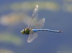 Anax imperator ♂ (zogt2000 (No Video)) Tags: dragonfly bretagne libellule anaximperator anaxempereur plomeur buzznbugz