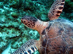 Real Close (Wim Bollein) Tags: seaturtle animal scubadiving underwater water blue uwphotography bonaire caribbean ocean bluewaters eastcoast