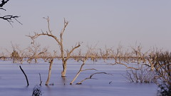 2016.11.17.05.58.05-Menindee Lake (www.davidmolloyphotography.com) Tags: newsouthwales menindee kinchega kincheganationalpark lake dawn