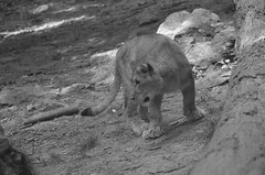 Lion cub (dfromonteil) Tags: lion félin young jeune felino animal bw black white blanc noir nature attitude portrait moment capture