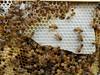 Closeup macro of brood frame from the feral queen (closeup macro) (nicephotog) Tags: capped uncapped unripe honey cell larvae european honeybee bee apis mellifera comb brood hive beehive closeup macro