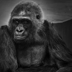 Mimi (Ralph Runknagel (sehnerv19)) Tags: blackwhite monochrome closeup lowkey omd olympus nature nik silverefexpro wilhelma animals zoo