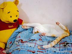 CAT 176: GNSD, Pooh (ongushi) Tags: cat cats catsagram catstagram instagood kitten kitty kittens pet pets animal animals petstagram petsagram photooftheday catsofinstagram ilovemycat instagramcats catoftheday lovecats lovekittens adorable catlover instacat olympus bangkok thailand ongushi ongie mirrorless catmoments pooh winniethepooh discover manuallens 25mmf18
