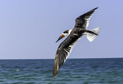 Skimmer Flying (C. P. Ewing) Tags: bird birds animal animals skimmer flight flying ocean gulf water sky blue outdoor nature natural wildlife avian shorebird shore all