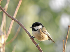 Watching!! (macfudge1UK) Tags: ©allrightsreserved 2017 avian bbcspringwatch bird britain britishbird britishbirds coaltit coolpix coolpixp610 england fauna gb greatbritain nature nikon nikoncoolpixp610 oxfordshire oxon p610 rspbgreenstatus uk wildlife winter periparusater alittlebeauty