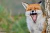 Fox (parry101) Tags: fox foxes animal animals vulpes vulpesvulpes red nature wild redfox outdoor lingfield surrey british wildlife centre