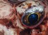 Look into my Eye (dave.thediver) Tags: cornwall closeup coldwater eyes fish macro nikon redgurnard