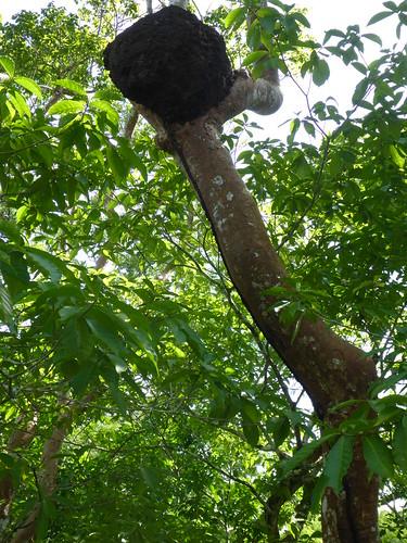 Nasutitermes sp. (Termite)