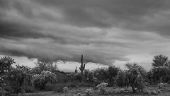 sOLACE sOUGHT iN a sONORAN sTORM 34 (wNG555) Tags: 2017 apachejunction apachetrail superstitionmountain superstitionwilderness sonorandesert desert cactus sky storm clouds winter olympusfzuikoautos38mmf18 bw arizona phoenix fav25