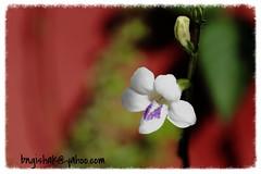 UnknownEOS 60D0235 (bngishak On & Off) Tags: bngishak canoneos60d efs1855mmf3556is littlewildflower flower whiteflower sarikei sarawak nyelong