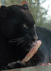 jaguar Mowgli artis JN6A6916 (j.a.kok) Tags: mowgli jaguar pantheraonca zuidamerika southamerica predator cat kat mammal zoogdier blackjaguar zwartejaguar artis artiszoo