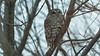 Barred Owl (just another bozo on the bus) Tags: owl barred darkness available