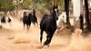 Impressions of India – 9 (Chizuka2010) Tags: horses india rajasthan roopniwaskothi nawalgarh marwari marwarihorses malanihorses chevaux racechevaline inde travel voyage galloping bolt dust poussière cloudofdust chizuka2010 luciegagnon ears inwardturningeartips galop
