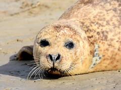 Seal watches intently. (pstone646) Tags: seal nature wildlife animal mammal kent closeup fauna