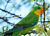 Superb Parrot (NathanaelBC) Tags: cbr canberra bird native wildlife