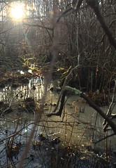 #Sunset #swamp #wetlands #marsh #sticks #bushes #branches #ground #reflecting #light #leaves #ice #cold #covered #winter #nature #woods #forest #fall #trees #Mike #Liebler #Connecticut #Vernon #CT (mikeliebler222) Tags: sunset swamp wetlands marsh sticks bushes branches ground reflecting light leaves ice cold covered winter nature woods forest fall trees mike liebler connecticut vernon ct