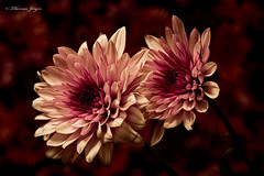 Purple-Pink Mum Pair 0108 Copyrighted (Tjerger) Tags: nature beautiful beauty black blooming boom closeup duo flora floral flower macro mum pair petals pink plant portrait purple red stems two winter wisconsin redbackground natural