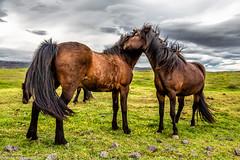 Island Pferde im Süden Islands (AnBind) Tags: island fotoreise 2016 ereignisse urlaub þorlákshöfn suðurnes is