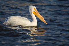 American White Pelican on the Mississippi River (jeff_a_goldberg) Tags: lockanddam14 americanwhitepelican wildlife winter nature bird pelican pelecanuserythrorhynchos mississippiriver bettendorf iowa unitedstates us