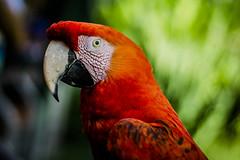 Redhead (::: M @ X :::) Tags: guacamayo temaiken macaw ara bird ave colores colourful fav10 fav20 fav30 fav40 fav50 fav60 fav70 fav80 fav90 fav100