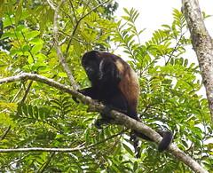 Mono aullador Parque Volcan Arenal La Fortuna Costa Rica 05 (Rafael Gomez - http://micamara.es) Tags: parque volcán arenal animales fauna la fortuna costa rica howler monkey mono aullador volcan animal arbol arboles