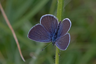 Cupido minimus - the Small Blue (male)