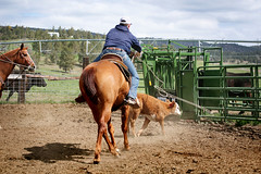 The Lasso (Ambesi) Tags: cowboy realcowboy ranching ranchlife cattle cowroper roper