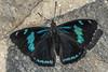 Perisama dorbignyi paula (Oberthür, 1916) -EXPLORED 1/02/2017- (PriscillaBurcher) Tags: cyanbandedperisama perisamadorbignyipaulaoberthür1916 perisamadorbignyipaula perisamadorbignyi perisama lepidoptera nymphalidae mariposasdecolombia butterfliesfromcolombia brushfootedbutterfly laceja colombia priscillaburcher l1200424 explored coth5