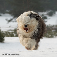 "I' am comimg... "" explore "" (dewollewei) Tags: oldenglishsheepdog oldenglishsheepdogs old english sheepdog sheepdogs oes bobtail dewollewei wickedwisdoms explore explored dogs dog ru runningdogs running winter snow pups ommen amy"