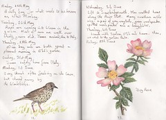 Thrush and Dog-rose (Hornbeam Arts) Tags: rose sketch watercolour dogrose thrush