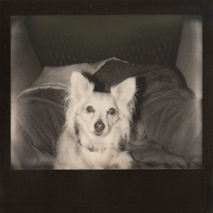 Sir Theodore (benjaflynn) Tags: portrait bw dog pet chihuahua monochrome horizontal contrast analog vintage dark polaroid chair sitting teddy antique uv f10 retro lightleak indoors chilling faded blonde scanned instant spectra expired pola autofocus rarities instantfilm instantprint blackframe primelens polalove fixedfocallength polaroidspectrasystem epsonperfectionv500 silvershade 125mmlens theimpossibleproject impossiblefilm pz600 pz600silvershadeuvblackframe