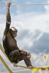 I Know Things You Cannot Fathom... (John Greg Jr) Tags: columbus ohio usa animals zoo unitedstates mammals bonobo primates columbuszooaquarium camera:make=nikoncorporation exif:make=nikoncorporation exif:lens=15005000mmf5063 exif:aperture=80 camera:model=nikond7100 exif:model=nikond7100 exif:isospeed=100 exif:focallength=290mm