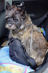Camera bag dog (osto) Tags: dog pet animal denmark europa europe sony terrier zealand otto scandinavia danmark cairnterrier slt a77 sjlland osto alpha77 osto june2015