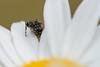 Shy Spider (Scott Michaels) Tags: macro spider nikon kirk d600 nikon105mmvr flashbracket tc17 sb400 sc28